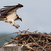 Osprey of the Jersey Shore | 2019 - 9