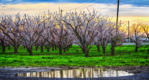 spring blossoms trees sunset beamsville puddle water reflection powerlines nikkor70300mm photoshop canada ontario paulboudreauphotography niagara d5100 nikon nikond5100 layer goldenhour