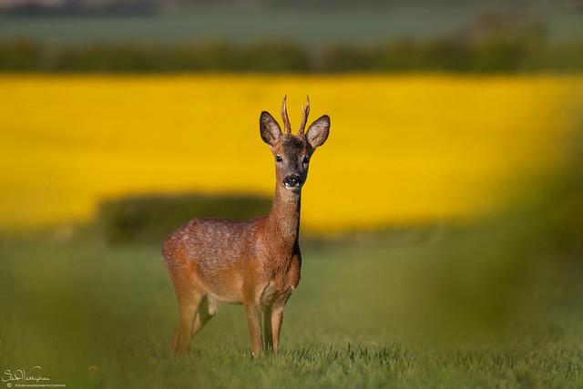 Alert Roe Deer