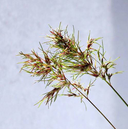 Poa bulbosa v. vivipara - pâturin bulbeux, pâturin vivipare 47816877551_e428ba0699