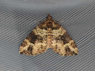 Epyaxa sp.