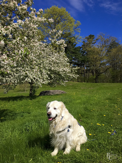 Bailey in a Boston Spring
