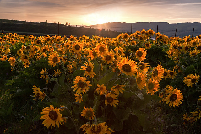 Rowena Crest Balsamroot Sunflowers at Sunset