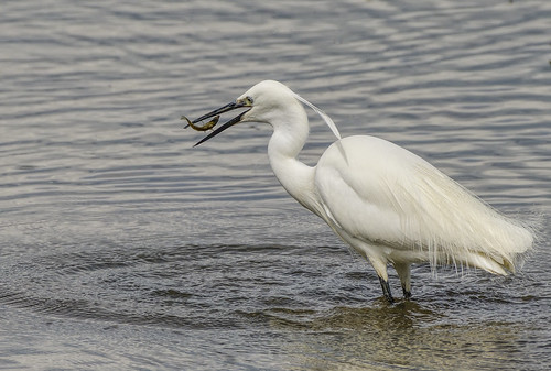 Little Egret | by photogramps