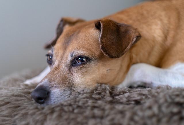 Rosa, a danish-swedish farmdog