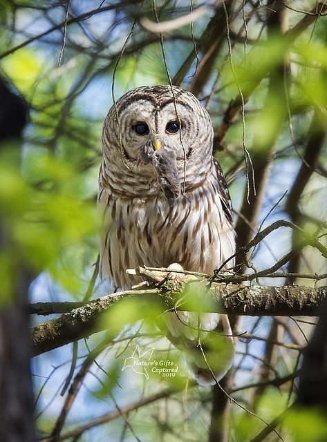 Momma Barred Owl w/ lunch