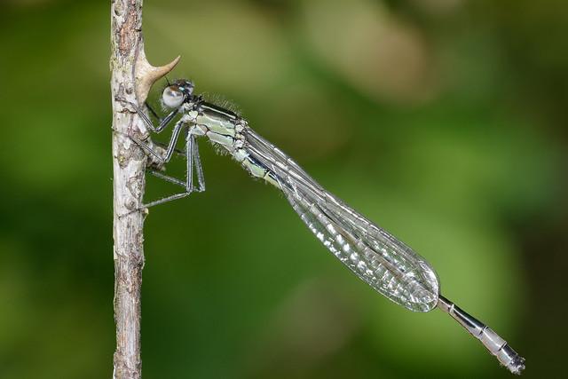 Common Bluetail, male (Ischnura elegans) Större kustflickslända