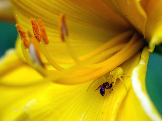 Crab spider, with bee.