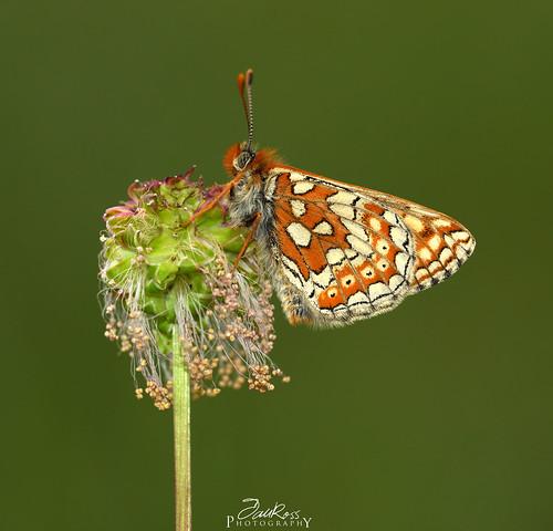 Marsh Frittilary - Euphydryas aurinia