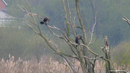 Cormorants in trees, Doxey