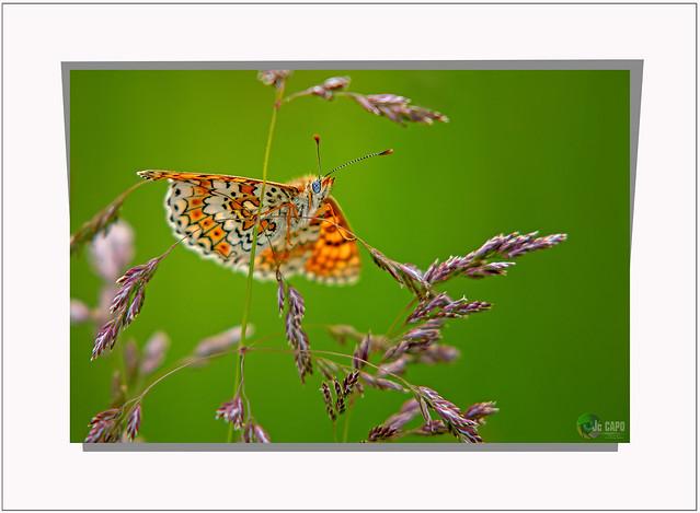 """""""Certains papillons ne vivent qu'une journée et en général il s'agit pour eux du plus beau jour de leur vie... """"  c'est Philippe Geluck l'a dit..."""