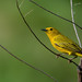 Yellow warbler by JEO126