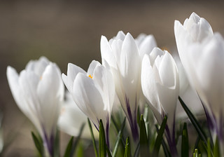 Crocus   by kimpapsy