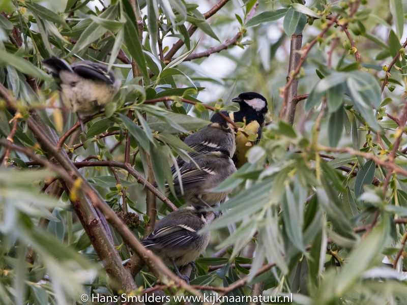 Koolmees (Parus major)-819_1886