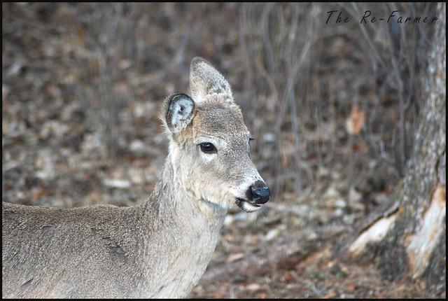 2019-04-25.white.tail.deer.1
