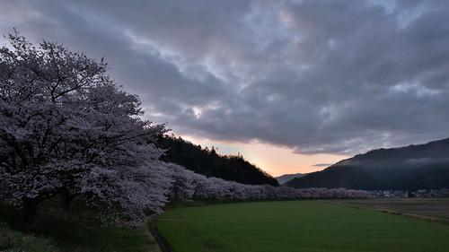 japan 福井県 大飯町 名田庄 桜 cherry 日の出 sunrise