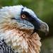 Orlosup bradatý (Gypaetus barbatus)