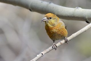 Red Crossbill (Loxia curvirostra), Conifer, Colorado