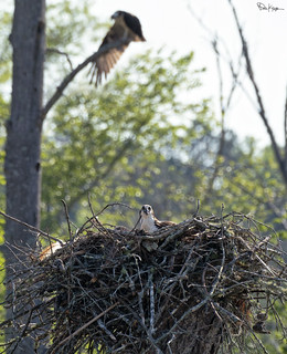 Ospreys in the Trees