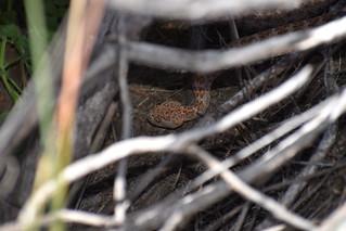 Hidden Rattlesnake in Ramona, California on May 17, 2019