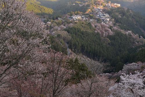 japan 奈良県 吉野 桜 cherry 日の出 sunrise 寺院 temple 世界遺産 金峯山寺 worldheritage