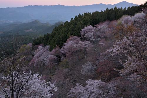 japan 奈良県 吉野 桜 cherry 日の出 sunrise