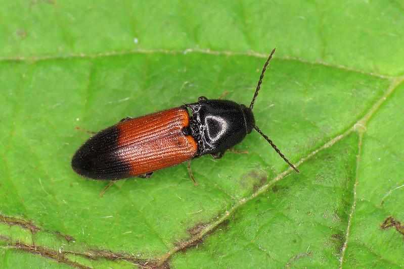 Ampedus balteatus
