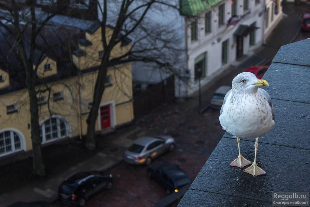 Таллин Старый город чайка