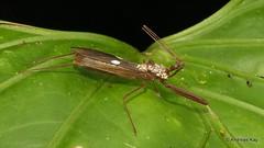 Assassin Bug, Ricolla sp., Reduviidae