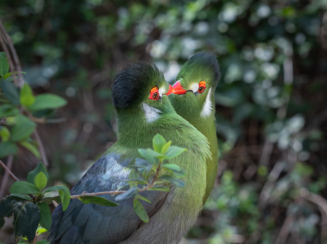 Pair of Turaco's