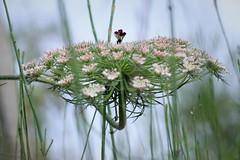 wild carrot in equiseto field