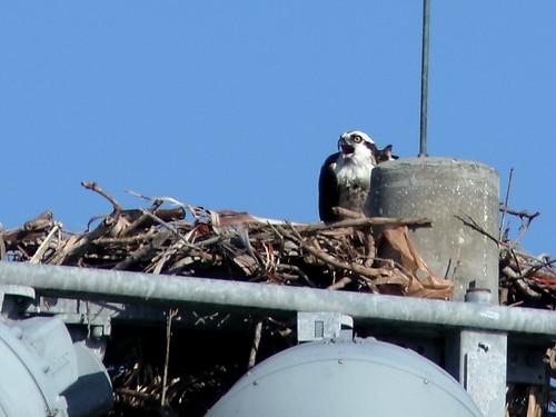 Osprey on nest 20190518