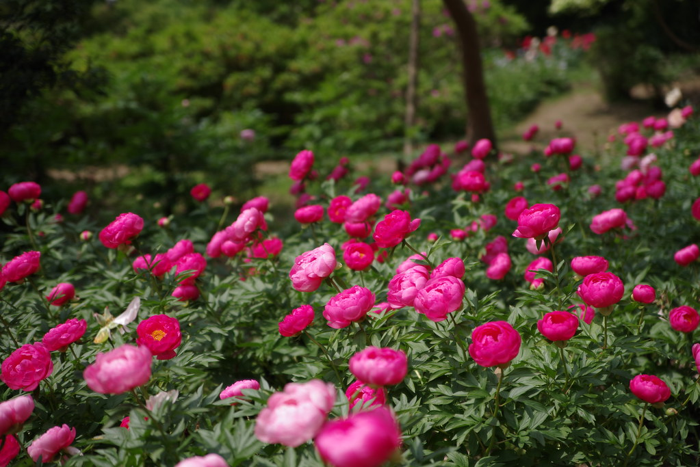 Peony flower park