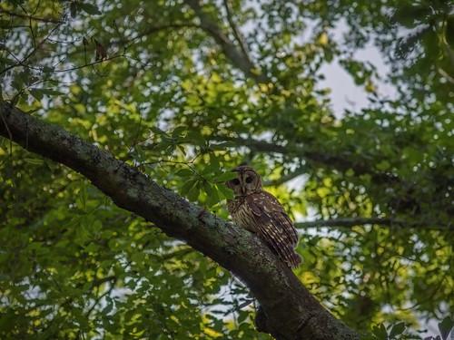 Pic(k) of the Week: Ambush Owl