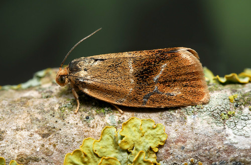 1000_Ptycholoma lecheana_Ex L on Lime_Areley Wood_110519