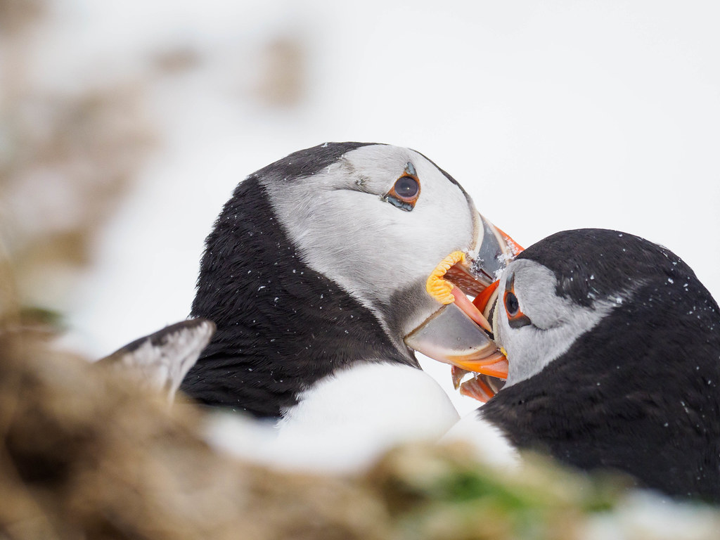 Puffin fight II