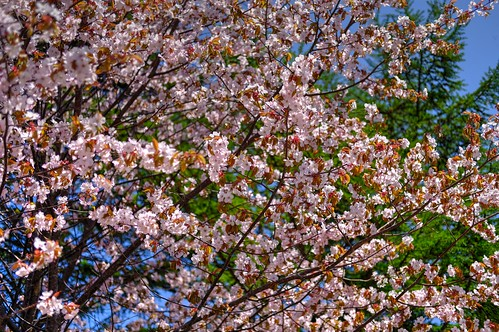 12-05-2019 Sakura (5)
