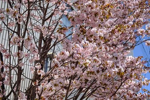 12-05-2019 Sakura (4)