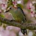 IMG_9403 red bellied woodpecker