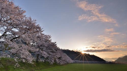 japan 福井県 大飯町 名田庄 北陸 田園 field 桜 cherry 日の出 sunrise