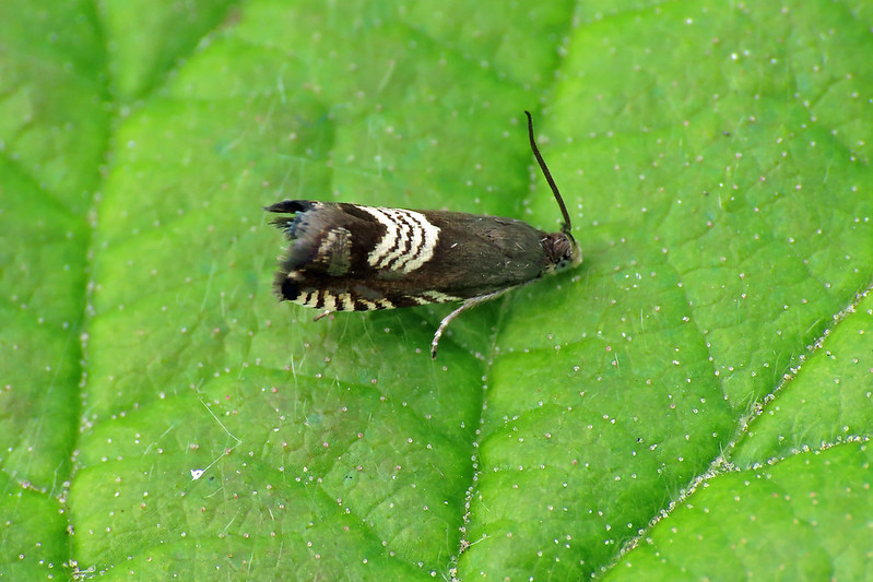 49.347 Triple-stripe Piercer - Grapholita compositella
