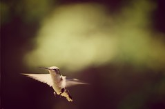 Hummingbird at dawn