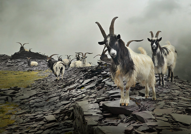 Goats of Dinorwic