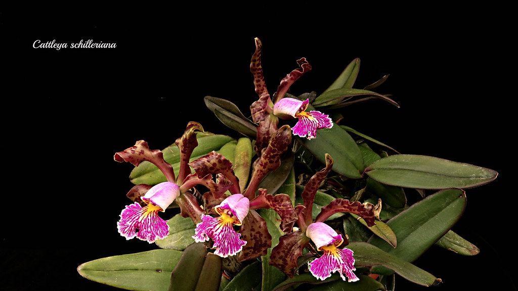 Cattleya schilleriana var. sanderiana