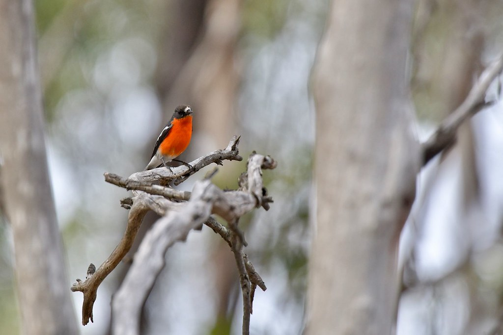 Flame Robin ( Male)