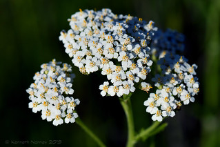 COMMON YARROW 2