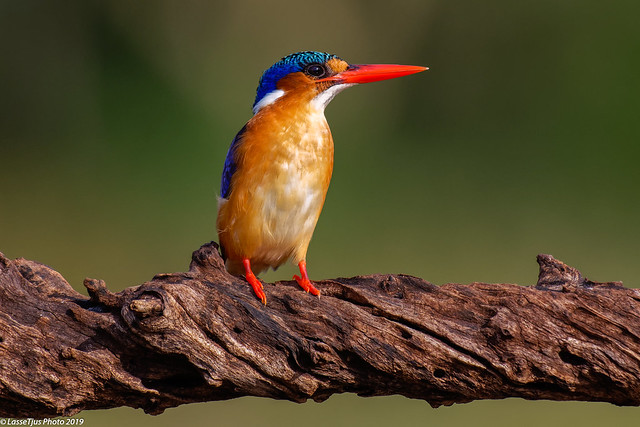 Malachite Kingfisher at the Zimanga Lagun hide.
