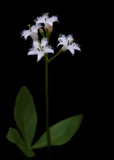 Menyanthes trifoliata - Buckbean