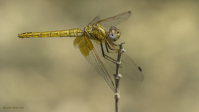 Trithemis kirbyi. Adult female