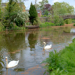 Swans on the canal at Preston